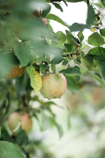milwaukee-wedding-photographer-autumn-apple-orchard-17