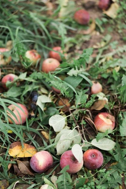 milwaukee-wedding-photographer-autumn-apple-orchard-33